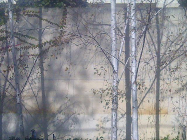 Birch 'n' wall2
