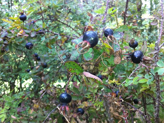 black rosehips