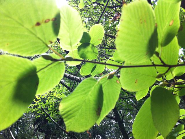 glowy leafs